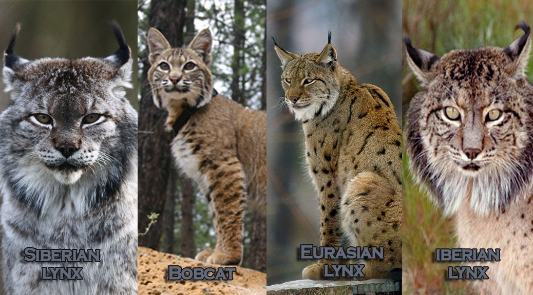10 Intriguing Facts about the Siberian Lynx