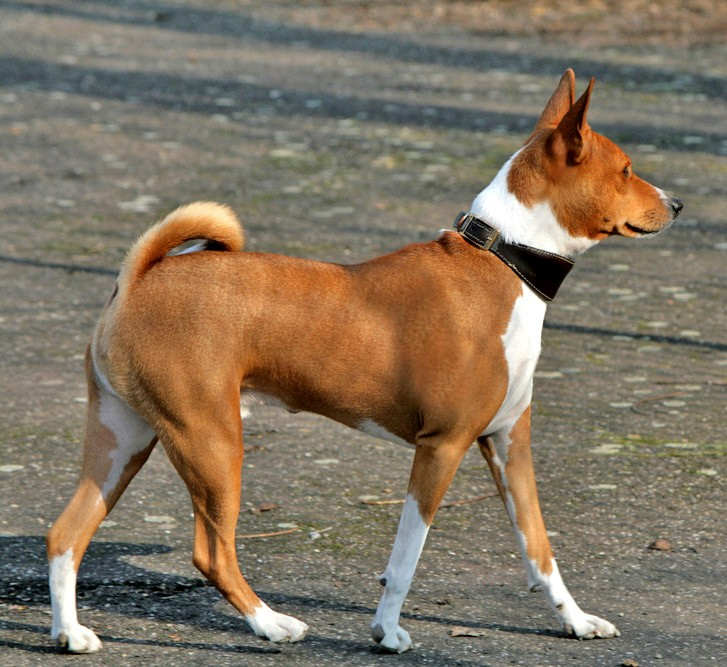 Basenji – The Barkless Dog of Central Africa