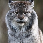 10 Intriguing Facts about the Siberian Lynx. My Heart Wept When I Saw #9.
