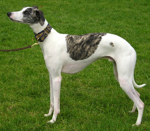 The Sleek Whippet